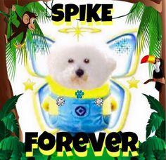 Spike Bichon one angel!  #spikebichon