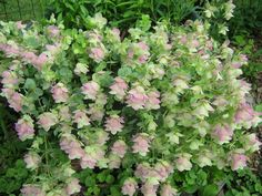 Photo of Ornamental Oregano (Origanum 'Kent Beauty') uploaded by gardengus