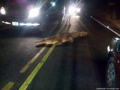 Cocodrilo interrumpe el tránsito esta noche en Tamarindo