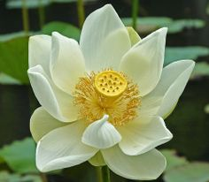 The central heart of the Lotus also has a symbolic meaning as it is thought to be pure, therefore people of good heart and soul should strive to reach the beauty of the fully opened white Lotus flower heart.