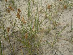 carex+douglasii | Carex douglasii | Flickr - Photo Sharing!