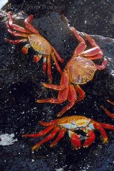 Sally Lightfoot crabs, Galapagos, Ecuador by skuarua                                                                                                                                                                                 More