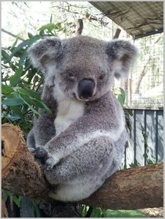Amazing wildlife - Koala photo #koalas