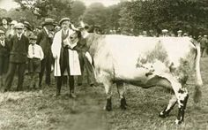 Blue Albion Cow on show, 1920s, extinct breed