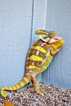 Luke.. male veiled chameleon Lizards, Reptiles, Veiled Chameleon, Crocodiles, Jurassic Park, Toad, Turtle, Animals, Turtles