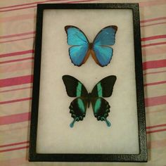 Home decor, conversation piece real butterflies professionally framed. Beautifull metallic blue and emerald green butterfly in a cushion pin closed shadow box type frame. One of a kind I bought these at a local insect show in town and hand picked these. From what i was told the blue one is quite common of the amazon forrest where as the green one is quite rare. 12 inches tall and 8.5 inches wide.