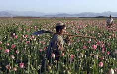 An Afghan boy carries a shovel on his shoulder as he walks in a poppy field in Zhari district of southern Kandahar province, April 11, 2016.