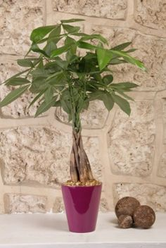 Feng shui for your business...Money Tree. On either corner of your desk. Good Chi energy. Feng Shui Garden, Feng Shui House, Feng Shui Bedroom, Feng Shui Love Corner, Office Ideas For Work, Feng Shui Mirrors, Pachira Aquatica, Meditation Retreat, Meditation Corner