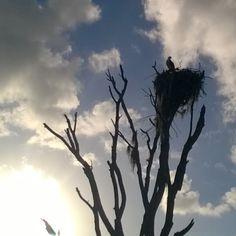 Osprey in its nest. Everglades National Park FL. #everglades...