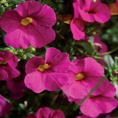 Japaninkello 'Calita Pink' Million Bells, Plants, Pink, Plant, Pink Hair, Roses, Planets