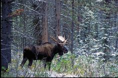 Hunting bull moose after the rut? Well, put away those calls. To bag your moose you'll have to go to him. Here's how