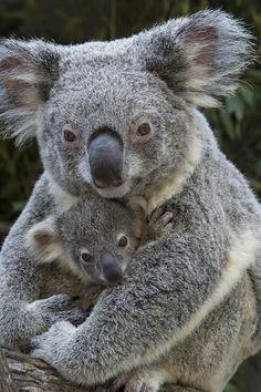 Koala mother holding her joey - 25 Incredibly Touching Wildlife Photos of Animal Moms and their Babies. Cute Funny Animals, Cute Baby Animals, Animals And Pets, Animals And Their Babies, All Animals Photos, Funny Koala, Animal Babies, Wild Animals, Chien Saint Bernard