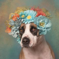 adoptar-perros-pitbull-flores-sophie-gamand (7)