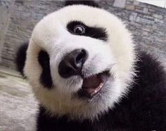 Pandas love to go on the merry go round! Funny Panda Pictures, Cute Animal Pictures, Cute Funny Animals, Cute Baby Animals, Panda Habitat, Panda Mignon, Baby Panda Bears, Baby Pandas, Wild Animals Attack