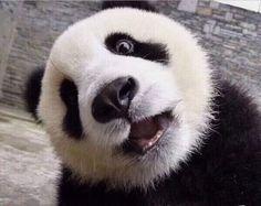 Pandas love to go on the merry go round! Panda Kawaii, Niedlicher Panda, Panda Art, Cute Panda, Funny Panda Pictures, Cute Animal Pictures, Cute Baby Animals, Funny Animals, Panda Habitat