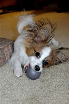 Aaww! My last puppy left, 3 weeks ago and I already need a 'puppy fix'! PAPILLON