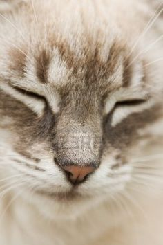 chat gris de près Banque d'images