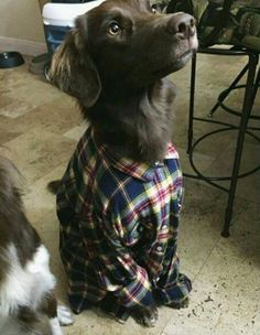 I want to do this to my dog, because it's just too darn adorable!  Why hadn't I thought of this before?!  P.s. I think Sesame Street used to do a bit back in the day with dogs dressed up in clothes doing human activities.
