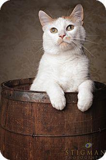 Detroit Lakes, MN - Domestic Shorthair. Meet Frisco a Cat for Adoption.