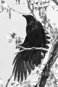 Crows often appear in groups, and though there seems to be no variation in their caw-ing to each other, each caw actually has a different meaning. Their complex vocabulary is one sign of their intelligence.. They often make great noise when hunters are around, warning deer and other birds. Crows recognise potential danger and hence always post lookouts when feeding. This is their most vulnerable time...