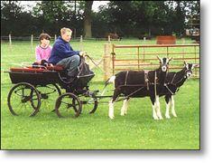 British Goat Society - Breeds of goats 4