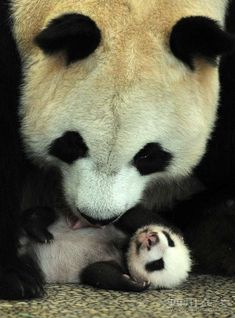 Adorable giant pandas doing all kinds of adorable giant panda things - Page 3 of…