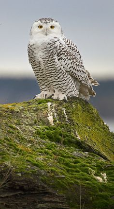 Snowy Owl, by Chase Decker | Flickr