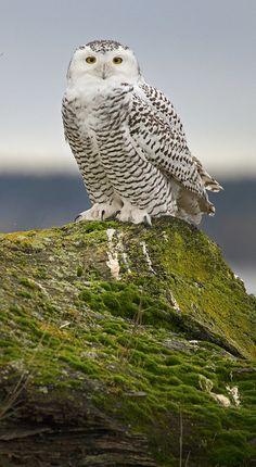 Snowy owl (Bubo scandiacus) by Chase Decker Owl Photos, Owl Pictures, Barred Owl, Beautiful Owl, Owl Bird, Snowy Owl, Baby Owls, Pretty Birds, Bird Species