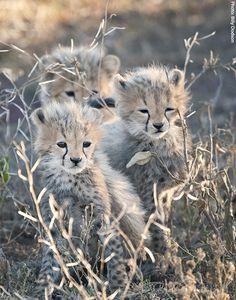 Three cheetah babies at Ndutu in the southern Serengeti (African Wildlife Foundation)