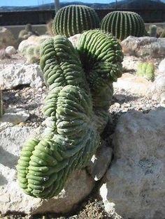 Lophocereus schottii Forma cristata