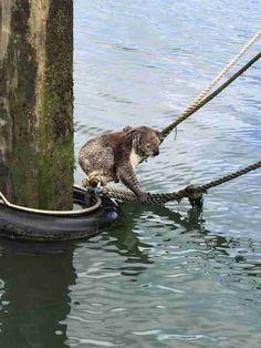 Stranded Koala
