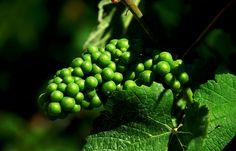 """Zur Zeit ist die saarländische Weinlese an der Obermosel in vollem Gange.  ... Getreu dem Motto:  """"Auxerrois und Pinot gris, entscheiden kann man sich ja nie, Pinot blanc und Spätburgunder,... selbst der Chardonnay oh Wunder, und auch Elbling, sogar Sekt, und das Schöne, alles schmeckt !""""  :-)  (Auszug aus meinem Saarländischen Weingedicht)"""