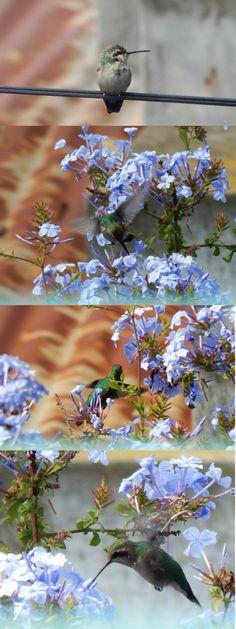 El colibrí que siempre viene al jazmín del cielo. Animalito bello y etéreo!