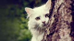 cool White Cats Desktop Background