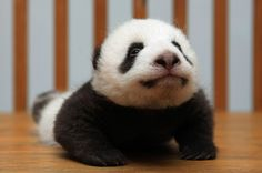 Yoga panda in China... Doesn't get in cuter than that!