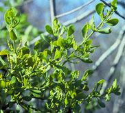 State Floral Emblem: Mistletoe (Phoradendron serotinum)  Mistletoe is Oklahoma's oldest symbol, originally chosen as the state flower in 1893. It was later changed to the state floral emblem.