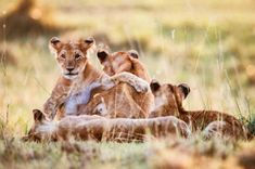 Group Of Lions, Baby Lion Cubs, Cute Lion, Graphic Design Art, Panther, Grass, How To Draw Hands, Group Photography, Stock Photos