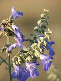 Salvia azurea var. grandiflora (Pitcher sage) | NPIN