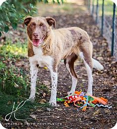 North of Sacramento, CA - Border Collie Mix. Meet COPPER, a dog for adoption. http://www.adoptapet.com/pet/11793880-corning-california-border-collie-mix