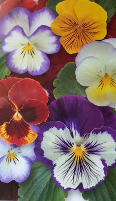 Pansies an annual to round out the blueberry/flower bed - remember to keep all flowers out of the blueberry bushes 'space' as they cannot handle competition