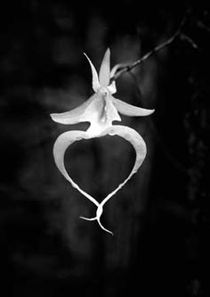 Ghost Orchid, Everglades Florida