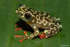 Amazing Frog, Dart Frogs, Paludarium, Frog And Toad, Mundo Animal, Tier Fotos, Tree Frogs, Reptiles And Amphibians, Darts