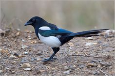 the black-billed magpie - pica hudsonia, is a bird in the crow family that inhabits the western half of north america.