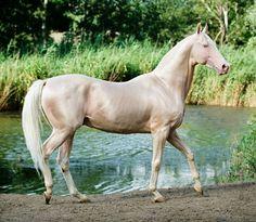 Cremello Akhal teke stallion, Piastr. photo: Viktoria Makarova.
