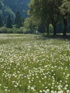 Photographic Print: Flowering Meadow, Dandelion Clocks, Trees, Edge of the Forest by Thonig : Spring Aesthetic, Nature Aesthetic, Aesthetic Fashion, Aesthetic Green, Flower Aesthetic, Aesthetic Drawing, Style Fashion, Dandelion Clock, Images Esthétiques