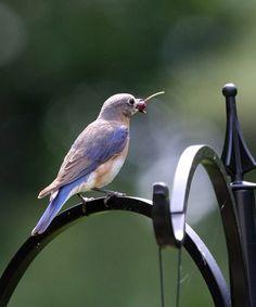 Eastern Bluebird // Nature Friend Magazine