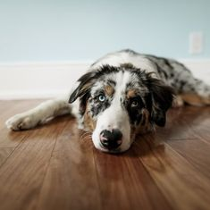 Aussies are known for being smart, playful dogs, which makes them a great choice for a family pet. They're also known for commonly having heterochromia, a condition that gives them two different colored eyes. Big Puppies, Big Dogs, Australian Shepherd Puppies, Australian Shepherds, Two Different Colored Eyes, Husky Husky, Puppy Dog Eyes, Cute Dogs Breeds, Herding Dogs