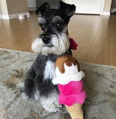 """224 Likes, 10 Comments - ROXY (@imroxytheschnauzer) on Instagram: """"I guess this is what mom thought they meant by """"ice cream day"""" yesterday! She says it's healthier…"""""""