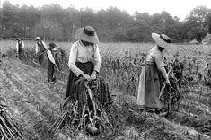 Au début du siècle, les récoltes se font encore à la faux. France, 1908. © Jacques Boyer / Roger-Viollet