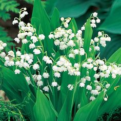 Lily-of-the-Valley For Shade Clusters of tiny white bells add charm and fragrance to every spring garden setting. Thrives in shade, spreading rapidly to create carpets of emerald foliage. Excellent under trees, in foundation beds, borders and banks. Perennial Bulbs, Shade Perennials, Shade Flowers, Bulb Flowers, Giant Flowers, Garden Shrubs, Shade Garden, Purple Garden, Garden Paths